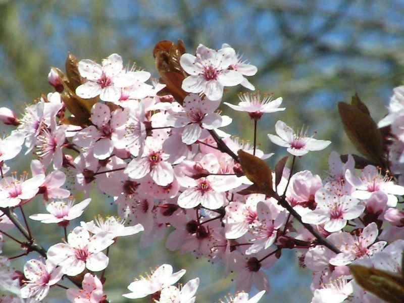 Esencia Floral De Cherry Plum (Cerasífera) – poderfloral.com