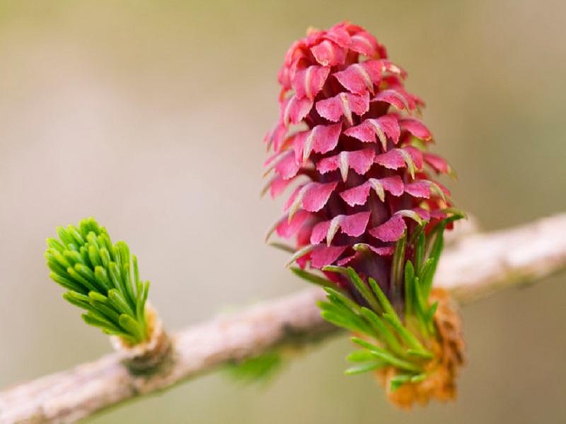 Esencia Floral De Larch (Alerce) • poderfloral.com